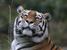 Panthera tigris (Tiger)
