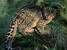Pardofelis marmorata (Marbled Cat)