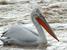 Pelecanus crispus (Dalmatian Pelican)