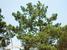Pinus rzedowskii (Rzedowski's Pine)