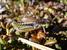 Podismopsis styriaca (Styrian Golden Grasshopper)