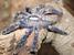 Poecilotheria metallica (Peacock Parachute Spider)