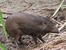Porcula salvania (Pygmy hog)