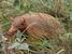 Priodontes maximus (Giant Armadillo)