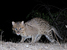 Prionailurus viverrinus (Fishing Cat)