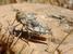Prionotropis hystrix rhodanica (Crau Plain Grasshopper)
