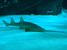 Pristis zijsron (Narrowsnout Sawfish)