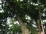 Protium attenuatum (Lansan Tree)