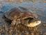 Pseudemydura umbrina (Western Swamp Turtle)