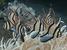 Pterapogon kauderni (Banggai Cardinalfish)