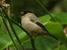 Pyrrhula murina (Azores Bullfinch)