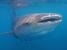 Rhincodon typus (Whale Shark)