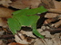 Rhinoderma darwinii (Darwin's Frog)