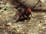 Rhynchocyon chrysopygus (Golden-rumped Sengi)