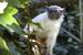 Saguinus bicolor (Pied Tamarin)