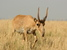 Saiga tatarica (Saiga Antelope)