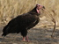Sarcogyps calvus (Red-headed Vulture)
