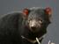 Sarcophilus harrisii (Tasmanian Devil)