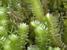 Scaphophyllum speciosum
