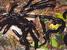 Seychelleptus seychellarum (Seychelles Giant Millipede)
