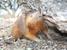 Solenodon paradoxus (Hispaniolan Solenodon)