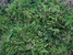 Spruceanthus theobromae