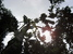 Swietenia macrophylla (Big-leaf Mahogany)