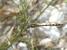 Syncordulia legator (Gilded Presba)