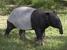 Tapirus indicus (Malayan Tapir)