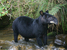 Tapirus pinchaque (Mountain Tapir)