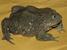 Telmatobius culeus (Titicaca Water Frog)