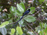 Terpsiphone corvina (Seychelles Paradise-flycatcher)