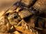 Testudo kleinmanni (Egyptian Tortoise)