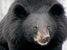 Ursus thibetanus (Asiatic Black Bear)