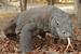 Varanus komodoensis (Komodo Dragon)