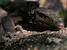 Varanus mabitang (Panay Monitor Lizard)