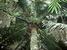 Voanioala gerardii (Forest Coconut)