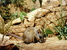 Zyzomys pedunculatus (Central Rock Rat)