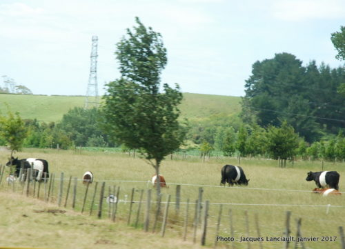 Vaches Belted Galloway, île du Nord, Nouvelle-Zélande
