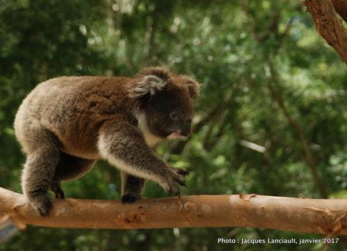 Parc animalier Healesville, Australie