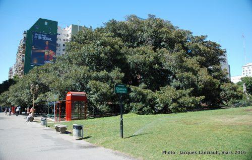 Gomero de la Recoleta, quartier Recoleta, Buenos Aires, Argentine