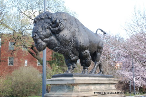 Bisons du pont Dumbarton, Washington D.C., États-Unis