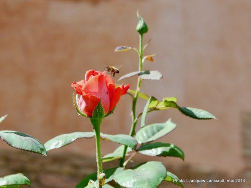 Jardins de Lindaraja, Alhambra, Grenade, Andalousie, Espagne