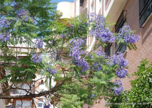 Jacarandas, Cordoue, Andalousie, Espagne