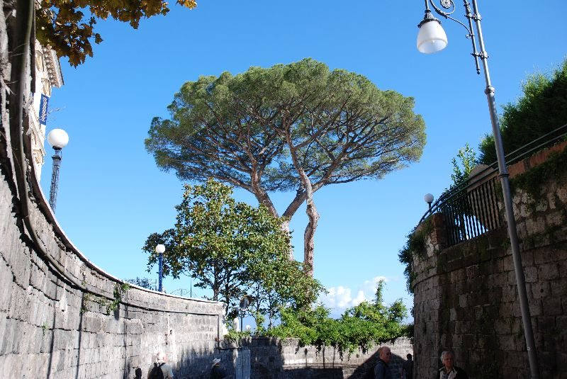 Immense pin parasol, Sorrento, Italie.