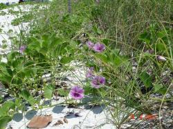 Il y a de ces fleurs en Floride.