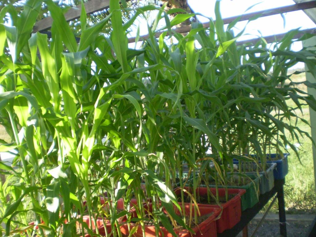 O sorgo uma planta de origem africana, da mesma família botânica do milho, que é utilizada na alimentação animal, principalmente de bovinos (FOTO: Nilson Araújo)