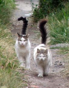 definition feral cat, TNR, feral cat