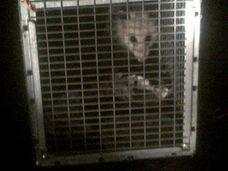 Releasing opossums