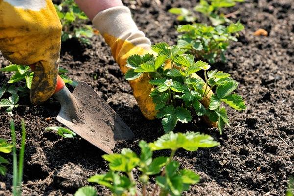 Planting strawberries in garden